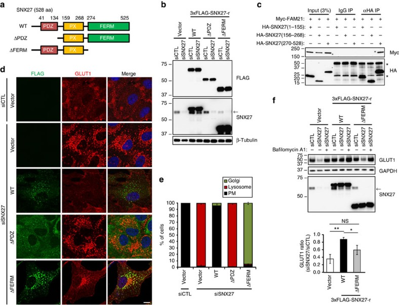 The interaction of SNX27 with FAM21 is required for proper recycling of its cargo to the plasma membrane (PM). ( a ) Schematic representation of SNX27 constructs used. ( b ) hTERT-RPE1 cells stably expressing empty vector or 3 × FLAG-tagged, siRNA-resistant SNX27 constructs were transfected with indicated SNX27 or control (siCTL) siRNAs, and analysed by immunoblotting. An arrow denotes endogenous SNX27. The SNX27 ΔPDZ proteins were not detected by anti-SNX27 antibodies because of a deficiency of epitope. ( c ) Myc-FAM21 was co-transfected with the indicated HA-SNX27 constructs in HEK293T cells, and lysates were immunoprecipitated with control mouse IgG or anti-haemagglutinin (HA) antibodies. Then, precipitates were immunoblotted as indicated. Asterisks (*) denote IgG heavy or light chains. ( d ) hTERT-RPE1 cells stably expressing empty vector or 3 × FLAG-tagged, siRNA-resistant SNX27 constructs were transfected with the indicated siRNAs and immunostained for FLAG epitope (green) and GLUT1 (red). Merged images with 4',6-diamidino-2-phenylindole staining (blue) are to the right. Scale bar, 10 μm. ( e ) Cells were counted based on co-localization of GLUT1 with GM130 (Golgi) or LAMP1 (lysosome) as shown in Supplementary Fig. 3 . Cells without accumulated GLUT1 signals were considered as plasma membrane (PM). Graphs express means±s.d. ( n =3; 200 cells per group). ( f ) hTERT-RPE1 cells stably expressing empty vector or 3 × FLAG-tagged, siRNA-resistant SNX27 constructs were transfected with the indicated siRNAs. Twenty-four hours later, cells were cultured in the absence or presence of 50 nM bafilomycin A1 for 24 h, and then analysed by immunoblotting. The intensities of each GLUT1 were normalized with respective GAPDH signals. Levels of GLUT1 in siSNX27-transfected cells relative to siCTL-transfected cells were measured from five independent experiments. Graphs express means±s.d. * P