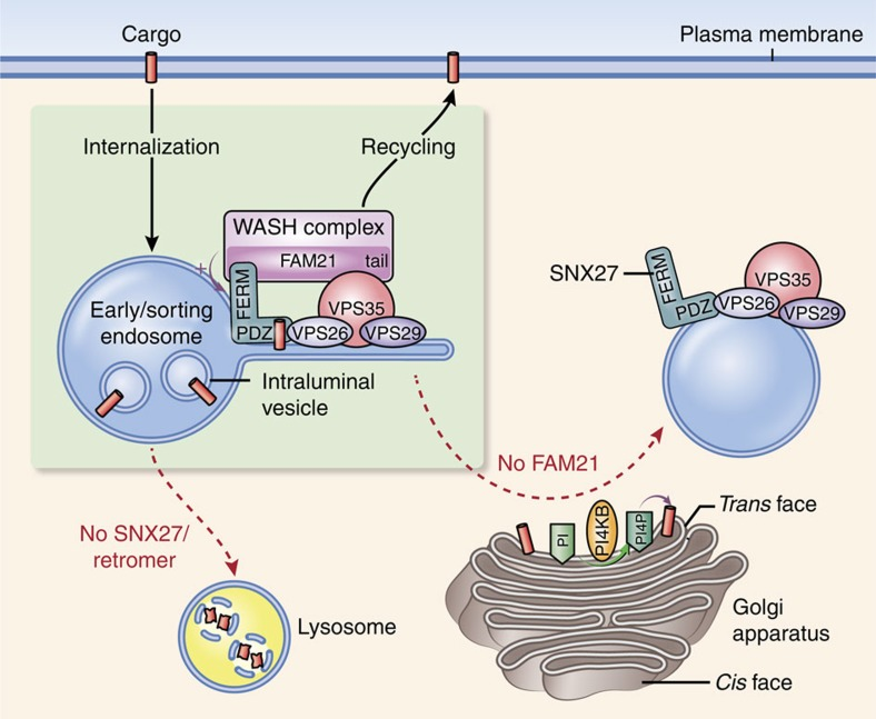 Model for roles of the SNX27–retromer–WASH complex in cargo sorting. After internalization, cargoes harbouring a PDZ-binding motif such as β2AR and GLUT1 bind to a PDZ domain of SNX27. SNX27 serves as an adaptor linking its cargoes to the endosomal tubules through its interaction. Interaction of its PDZ domain with VPS26 of retromer prevents lysosomal entry of cargoes, whereas the interaction of its FERM domain with FAM21 of the WASH complex prevents its transport to the Golgi apparatus. Therefore, these interactions within the SNX27–retromer–WASH complex direct the cargoes towards recycling to the plasma membrane. The WASH complex, in particular, functions in localizing SNX27 at a specialized endosomal subdomain. In addition, FAM21 controls PI4KB levels at the Golgi, resulting in maintaining proper levels of PI(4)P at the Golgi, which prevents dissociation of cargoes from the complex at the Golgi.