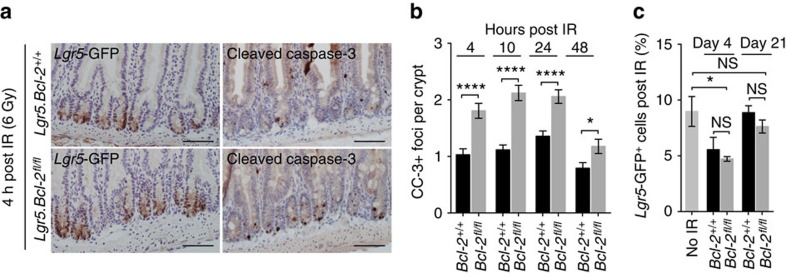 Bcl-2 is dispensable for ISCs during regeneration. ( a ) Panel of sections stained for cleaved caspase-3 (CC-3) in Lgr5.Bcl-2 +/+ mice (top) and Lgr5.Bcl-2 fl/fl mice (bottom) 5 weeks after tamoxifen induction and 4 h after 6 Gy full-body irradiation. Scale bars, 100 μm. ( b ) Graph displaying the percentage of CC-3 foci per crypt for Lgr5 . Bcl-2 +/+ and Lgr5 . Bcl-2 fl/fl mice at the indicated time points post 6 Gy irradiation. A minimum of 80 crypts was counted for each genotype and time point. Error bars represent the s.e.m., * P