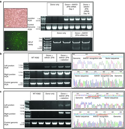 AAVS1 locus-specific integration of different size donor DNAs . ( a ) ZFN-dependent integration of donor DNA. K562 cells were coelectroporated with pEGFP (reporter for transfection efficiency) and <t>pZDonor</t> with or without AAVS1 ZFN mRNA. (Left): Brightfield and fluorescence images of transfected cells. Bar = 100 µm (Right): PCR spanning the integration junction (top) and RFLP assay (bottom) performed on genomic DNA from cells 4 days after treatment with pZdonor only; or 4 (Day 4) and 16 days (Day 16) after treatment with pZdonor and AAVS1 ZFN mRNA provided evidence of site-specific integration of 50-bp donor DNA. Control PCR amplified a 900-bp region of the AAVS1 locus. ( b ) Accuracy of Enhanced Sharkey AAVS1 ZFN-mediated integration of pZdonor EGFP. Left: PCR amplification of the left and right integration junctions performed on genomic DNA of K562 cells coelectroporated with pZDonor EGFP and Enhanced Sharkey ZFN with or without G418 selection. Right: DNA sequence chromatogram of left (top) and right (bottom) junctional PCR amplicons. Vector sequences are underlined in blue; Enhanced Sharkey AAVS1 ZFN recognition half-sites are underlined in red. Control PCR amplified a 900-bp region of the AAVS1 locus. WT K562 denotes untransfected control K562 cells. ( c ) Accuracy of Enhanced Sharkey AAVS1 ZFN-mediated integration of pZDonor Hybrid FVIII. Left: PCR amplification of the left and right integration junctions performed on genomic DNA of K562 cells electroporated with pZDonor Hybrid FVIII only or coelectroporated with Enhanced Sharkey ZFN followed by G418 selection. Right: DNA sequence chromatogram of left (top) and right (bottom) junctional PCR amplicons. Vector sequences are underlined in blue; Enhanced Sharkey AAVS1 ZFN recognition half-sites are underlined in red. Control PCR amplified a 900-bp region of the AAVS1 locus. WT K562 denotes untransfected control K562 cells. White vertical lines in the gel images demarcate lanes that were merged for clarity.