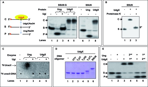 Activity assay of Msm UdgX. ( A ) Assay of Msm UdgX (100 ng) on 5′ 32 P-end labeled SSU9:G and SSU9 substrate, 'S' (∼10,000 c.p.m). Family 1 UDG (Ung) was used as control, Ugi was added as indicated. Reactions were resolved on 8 M Urea PAGE (15%) and analyzed by phosphor imaging. The presence of uracil excision activity can be seen as a fast migrating species forming a product 'P' whereas uracil binding activity form a slow migrating complex 'C' [panel (i) on left shows a diagrammatic sketch whereas the panel on right (ii) shows the results of the experiment]. ( B ) Proteinase K (1.2 U) digestion of the complex, 'C' observed in A, and re-resolved on 8 M Urea PAGE (15%) and analyzed by phosphor imaging. ( C ) Uracil release assay using 3 H-uracil containing DNA substrate. Msm UdgX (∼1 μg) or Ung (100 ng) was allowed to react with 3 H-uracil DNA substrate (∼21 000 c.p.m.), the samples were mixed with unlabeled uracil and spotted on the CEL 300 PEI/UV254, resolved using a mobile phase of 0.2% formic acid (v/v) containing 0.55 M LiCl at 4°C and analyzed by phosphor imaging. Released uracil is seen as a fast migrating species. ( D ) Binding of Msm UdgX (∼1 μg) with unlabeled uracil containing DNA oligomers (50 pmol) of different sizes resolved on 15% SDS PAGE and visualized by Coomassie blue staining. ( E ) Activity assay of Msm UdgX (4 pmol) in the presence of Msm Ung (4 pmol) using 5′ 32 P-labeled SSU9:G. Reactions were resolved on 8 M urea-PAGE (15%) and analyzed by phosphor imaging. The 1 st and 2 nd represents the order of addition, and '+' in both Msm Ung and Msm UdgX indicates that both the protein are added simultaneously.