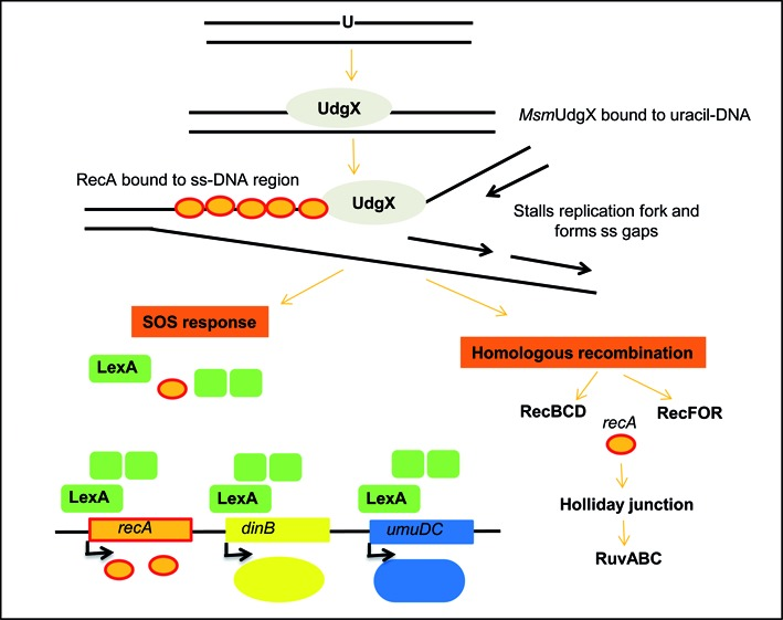 Proposed pathway for repair of uracil- Msm UdgX complexes. Binding of Msm UdgX to uracil would stall replication which could in turn lead to generation of single stranded gaps or double stranded breaks. Activation of RecA protein upon binding to ss DNA would induce the SOS response through cleavage of LexA. RecBCD proteins would also repair the complex through homologous recombination repair pathway.