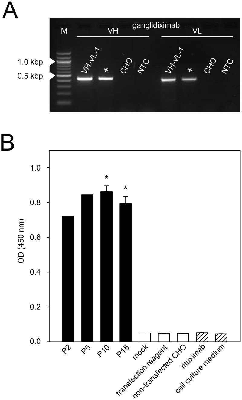 "Establishment of a cell line stably producing ganglidiximab. CHO cells were stably co-transfected with two generated expression plasmids (p3-ganglidiximab-HC/ p3-ganglidiximab-LC) and a cell clone ""VH-VL-1"" stably producing high levels of ganglidiximab was selected for further Ab production. Permanent ganglidiximab expression was confirmed after 15 passages and two freeze-thaw cycles by RT-PCR (A) and standard ELISA (B). ( A ) To amplify coding sequences of ganglidiximab VH (440 bp) and -VL (420 bp), RNA of ""VH-VL-1"" was used for RT-PCR followed by agarose gel electrophoresis. RNA of <t>ganglidiomab-producing</t> hybridoma cells served as a positive control (+) and RNA of non-transfected CHO cells as a negative control. One representative image is shown. NTC—no-template-control. M—Marker (100-bp). ( B ) Ganglidiximab production by ""VH-VL-1"" was analyzed in supernatants collected during 15 passages and after two freeze-thaw cycles (P2, 5, 10 and 15). Supernatants of non-transfected CHO cells or cells incubated with control plasmids (mock) or transfection reagent only were utilized as negative controls (white columns). Human/mouse chimeric mAb rituximab and cell culture medium were included as additional negative controls (white-striped columns). Data are shown as mean values ± SEM of three independent experiments performed at least in triplicates. One-way ANOVA on ranks followed by appropriate post hoc comparison test; * P 0.05 vs . negative controls."