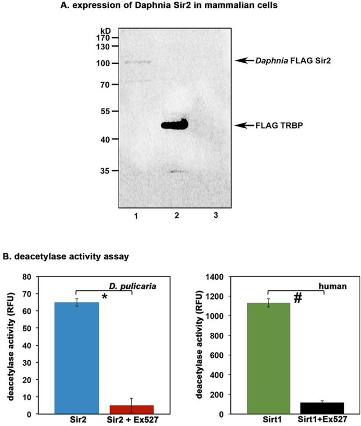 Daphnia Sir2 ORF produces a functional protein with catalytic activity (A) Expression of Daphnia Sir2 in Cos-1 cells . 100 ng each of Daphnia FLAG-Sir2/pcDNA3.1-, FLAG-TRBP/pcDNA3.1-, or empty vector pcDNA3.1- were transfected in Cos-1 cells using Effectene (Qiagen) and total protein extract was prepared 24 h after transfection. Western blot analysis was performed with anti-Flag antibody (M2, Sigma). Arrows indicate Flag-Sir2 and Flag-TRBP positions. (B) Sirt1 Activity Assay . Activity assay was performed using 5 μl of in vitro translated Daphnia Sir2. Human recombinant Sirt1 was used as a positive control. Ex527, a Sirt1/Sir2 specific inhibitor was used to ensure specificity that the observed deacetylase activity was that of Daphnia Sir2. Note that Daphnia Sir2 data represented is after subtracting the background activity obtained with unprimed (no plasmid DNA added) reticulocyte lysate. Error bars indicate standard deviations from 4 replicate assays. A Student's T Test was performed to determine statistical significance. The p values are as follows: *: 5.2×10 −7 (t stat: 22.2, df: 3); #: 4.8×10 −7 (t stat: 22.6, df: 3).
