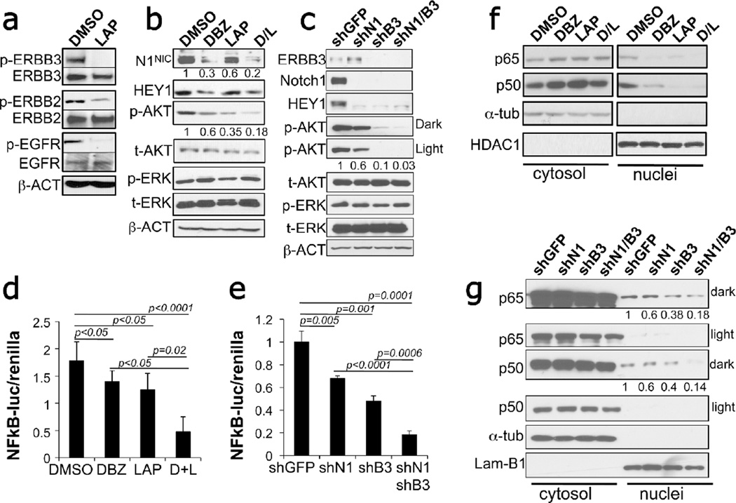 Inhibition of Notch and ERBB inhibits AKT and NFκB activity A) Effects of lapatinib (10µM) on the phosphorylation levels of ERBB3, ERBB2, EGFR in WM266-4 cells. B) DBZ (10µM) and lapatinib (10µM) effects on Notch1 NIC , HEY1, phosphorylated AKT and ERK1/2 in WM266-4 cells. Numbers represent quantification of band intensity normalized to their respective loading control and are the average between three independent western blots. C) Expression levels of Notch1, ERBB3, HEY1, phosphorilated AKT and ERK in cells (WM266-4) expressing specific shRNAs against Notch1 and ERBB3. Numbers represent quantification of band intensity normalized to their respective loading control and are the average between three independent western blots. D–E) NFκB Reporter assay in cells treated with DBZ and lapatinib or expressing shGFP, shNotch1, shERBB3 or the two together. P values are calculated by the Student's T test. Data are the average±SD between at least three independent experiments. F–G) Cytosolic and nuclear distribution of the NFκB elements p65 and p50 in DBZ/lapatinib treated cells ( F ) or in cells expressing shRNAs against Notch1 and ERBB3 ( G ).