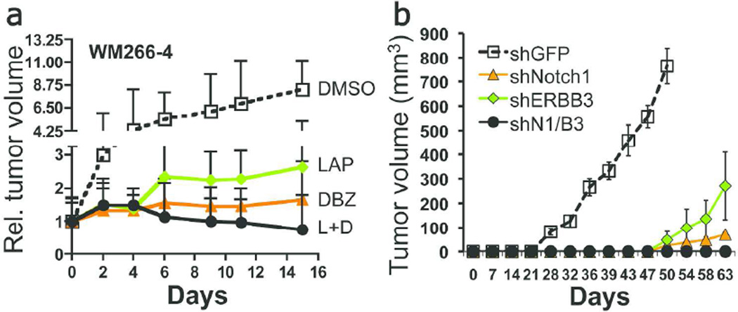 Inhibition of Notch1 and ERBB3 blocks tumor formation A) Growth of WM266-4 cells in SCID mice (n=8). Tumor volumes were normalized to 1 at time 0 (mean vol. 137 µM 3 ), time at which mice were given 50 mg/Kg lapatinib and 10 µMol/Kg DBZ thrice a week. (LAP vs DMSO, p=0.007 ; DBZ vs DMSO, p=0.002 ; DBZ+LAP vs DMSO, p=0.001; DBZ+LAP vs LAP, p=0.008 ; DBZ+LAP vs DBZ, p=0.05 , Student's t test). B) Growth of WM266-4 cells expressing shRNA control (shGFP) or shRNAs against Notch1 and ERBB3, in SCID mice (n=10). (shGFP vs shNotch1, p