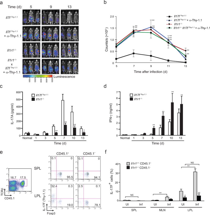 IL-1R signaling is required for host-protective T H 17 and T reg –T H 17 cell balance in vivo ( a ) Serial whole-body imaging of untreated Il17f thy1.1 mice, Il17f thy1.1 mice treated with depleting anti-Thy1.1 mAb or Il1r1 −/− mice or Il1r1 −/− mice treated with depleting anti-Thy1.1 mAb after inoculation with luminescent strain of C. rodentium and imaged at the indicated days post infection. ( b ) Colonization kinetic data from a represented as counts/sec at different time points post-infection with C. rodentium . ( c , d ) Quantitative ELISA of IL-17A ( c ) and IFNγ ( d ) in supernatants from cultured homogenates of colonic tissue collected from Il17f thy1.1 and Il1r1 −/− mice at the indicated times after inoculation with C. rodentium . ( e ) 3 × 10 6 of donor Il1r1 +/+ . Il17f thy1.1 (CD45.1/CD45.2) and Il1r1 −/− .Il17f thy1.1 (CD45.2) CD4 + T cells were mixed and co-transferred to recipient Tcrb −/− mice that were either uninfected or infected with C. rodentium 2 weeks post-reconstitution (see Supplementary Fig. 2d for schematic). Seven days later, expression of Thy1.1 (IL-17F) and intracellular Foxp3 by CD45.1 + and CD45.1 − splenic lymphocyte (SPL) and colonic lamina propria lymphocytes (LPL) from reconstituted recipient Tcrb −/− mice was analyzed (gated on activated CD4 + T cells). Numbers in each quadrant indicate the frequency of cells. Single plot represents equal frequencies of Il1r1 +/+ and Il1r1 −/− TCRβ + cells within reconstituted mice. ( f ) Frequencies of IL-17F (Thy1.1) cells in Il1r1 +/+ CD45.1 + and Il1r1 −/− CD45.1 − populations of SPL, MLN and LPL of uninfected and infected recipient Tcrb −/− mice. Data are: representative of one of two similar independent ( Il1r1 −/− mice treated with depleting anti-Thy1.1 mAb) or one of three similar independent experiments ( Il17f thy1.1 mice, Il17f thy1.1 mice treated with depleting anti-Thy1.1 mAb or Il1r1 −/− mice) a; pooled from two or three independent experiments with nine to eleven mice per group b; from two independent experiments with six mice per group c , d; representative of one of two similar independent experiments e; or pooled from two independent experiments with six mice per group f. Data are means and s.e.m. in b , c , d , f . N.S.= Not significant, * P