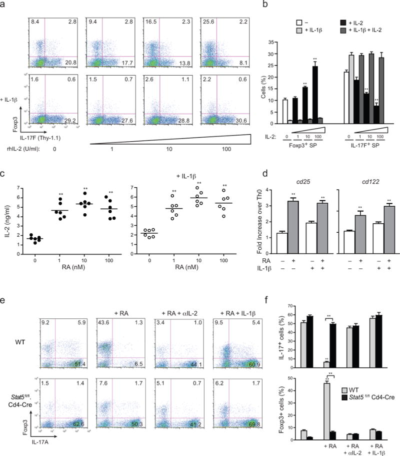IL-1β counteracts RA-driven IL-2/STAT5–dependent repression of T H 17 development ( a ) Expression of Thy1.1 (IL-17F) and Foxp3 from naïve OTII-Tg CD4 T cells (CD4 + CD25 − CD62L hi CD44 lo ) from OTII .Il17f thy1.1 mice activated with OVA peptide and IL-1β–deficient DCs for 4 days under T H 17 polarizing conditions, with or without IL-1β addition, and with or without addition of the indicated doses of rhIL-2 at day 4. ( b ) Frequencies of Foxp3 and IL-17F single-producers from OTII-Tg CD4 + T cells polarized as in a at indicated concentrations of rhIL-2 ( c ) Quantitative IL-2 ELISA from supernatants of naïve CD4 + T cells from Il17f thy1.1 mice that were activated with plate-bound anti-CD3 and soluble anti-CD28 under T H 17 polarizing conditions in absence (left) or presence (right) of IL-1β addition, with or without addition of addition of RA at the indicated concentrations (1–100 nM). ( d ) Expression of Cd25 and Cd122 transcripts by quantitative RT-PCR from naïve CD4 + T cells from Il17f thy1.1 mice that were activated with plate-bound anti-CD3 and soluble anti-CD28 under T H 17 polarizing conditions in absence or presence of IL-1β, with or without addition of RA (1 nM) at 60 h. Expression values are normalized to T H 0 controls. ( e ) Expression of IL-17A and Foxp3 from MACS-purified CD8 − CD4 + thymocytes isolated from WT B6 or Stat5 fl/fl . Cd4 -Cre mice that were activated with soluble anti-CD3 and Il1b −/− splenic DCs under T H 17 polarizing condition (IL-6+TGF-β with or without the indicated additions of RA (1 nM), anti-IL-2 (10 μg/ml) and IL-1β (20 ng/ml) for 4 days. ( f ) Frequencies of IL-17A + and Foxp3 + from CD4 + T cells from WT B6 or Stat5 fl/fl . Cd4 -Cre mice as treated in ( e ). Data are: representative of one of three similar independent experiments a ; pooled from three independent experiments with nine samples per group ( n = 9) b ; pooled from two independent experiments with six samples ( n = 6) c ; representative of two independent experiments with 6 samples per group ( n = 6) where individual data points represent each sample d ; representative of one of three similar independent experiments e ; or pooled from three independent experiments with ten samples ( n = 10) per group f. Data are means and s.e.m. in b , c , d , f ). ** P