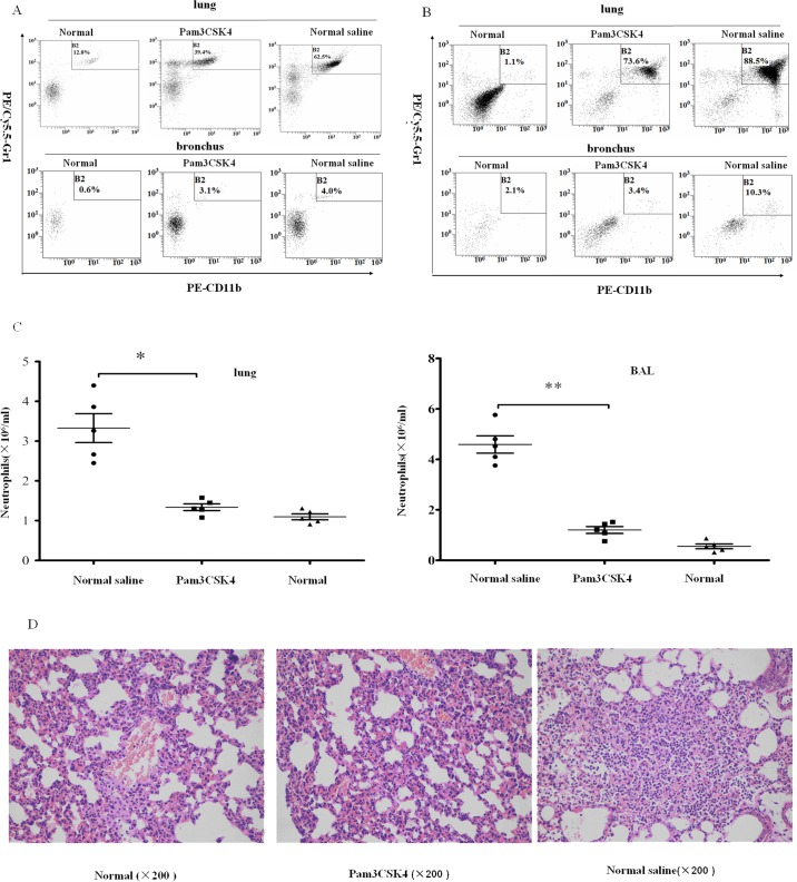 Pam3CSK4-pretreated mice have less neutrophil recruitment in MRSA-induced pneumonia. Infiltrating neutrophils were digested from lung tissues or washed out from the bronchus 6 and 12 h post infection. Cells were incubated with PE/CY5.5-anti-Gr-1, PE-anti-CD11b and analyzed by flow cytometry. Numbers of neutrophils in lung and bronchial lavage (BAL) in naïve and MRSA-challenged mice at 6 h (A) and 12 h (B) post infection were detected. The absolute numbers of neutrophils in the lungs and bronchus from mice 12 h post infection were calculated (C). Sections from MRSA-infected mice and naïve mice were stained by H E (D). (The representative percentages of neutrophils in lung or bronchus came from one mice per group (n = 5)), *P