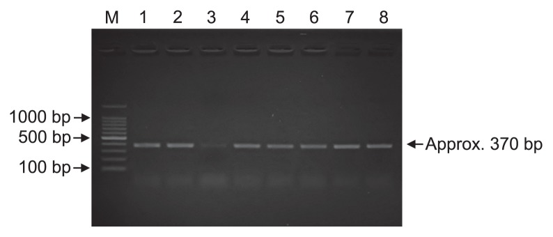 Detection of pepA genes from pure cultures and sediment samples. Lanes 1–6: PCR products obtained from DNA in sediment samples from February, April, June, August, October, and December, respectively. Lane 7: PCR products from the genomic DNA of Escherichia coli <t>JM109.</t> Lane 8: PCR products from the genomic DNA of Pseudomonas stutzeri IFO3773.