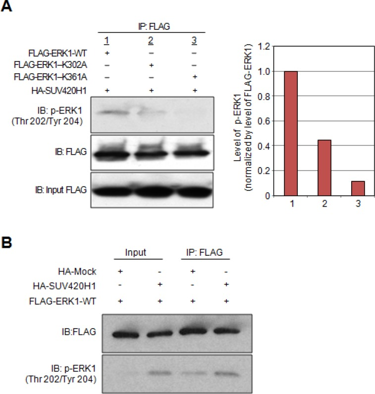 Effects of SUV420H1-dependent methylation on ERK1 activity ( A ) HeLa cells were co-transfected with HA-SUV420H1 and FLAG-ERK1-WT, or expression vectors containing the deletion variants (FLAG-ERK1-K302A, FLAG-ERK1-K361A). Cell lysates were immunoprecipitated with anti-FLAG M2 agarose beads. Samples were fractionated by SDS-PAGE and immunoblotted with anti-FLAG and anti-phospho ERK1 (Thr 202/Tyr 204) antibodies. Graphical representation of p-ERK1 levels normalized by FLAG-ERK1. ( B ) 293T cells were transfected with FLAG-ERK1-WT and HA-Mock or HA-SUV420H1. Cells were lysed with CelLytic ™ M 48 hours after transfection, followed by immunoprecipitation using anti-FLAG M2 agarose. Samples were immunoblotted with anti-FLAG and anti-phospho ERK1 (Thr 202/Tyr 204) antibodies.