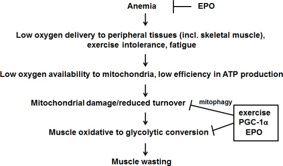 Proposed mechanism of action of exercise, EPO and PGC-1α in counteracting tumor-induced muscle alterations See text for further details.