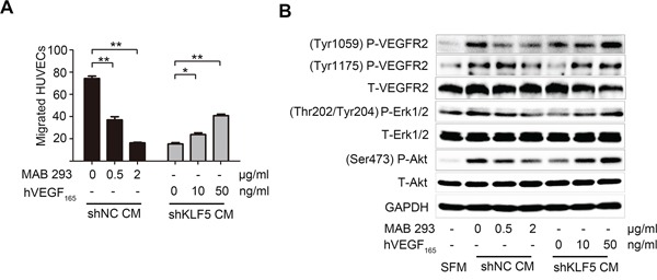 VEGFA mediates the angiogenic roles of KLF5 in bladder cancer A. VEGFA neutralized antibody (MAB293) was added into CMs from 5637/shNC cells, while recombinant human VEGF 165 was added into CMs from 5637/shKLF5 cells. These CMs containing different levels of VEGFA were used to recruit HUVECs. B. HUVECs were serum-starved overnight, stimulated with SFM or CMs for 10 minutes before proteins harvest immediately. Phosphorylation of VEGFR2, Erk1/2 and Akt were evaluated by western blot. These data were representative of three independent experiments; * p