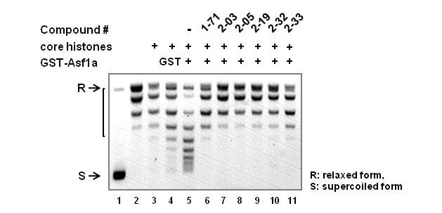 Inhibition of Asf1a-mediated nucleosome assembly by small molecule inhibitors. DNA supercoiling induced by nucleosome assembly was analyzed in the presence of inhibitors (lane 6-11) at final concentration of 100 μM. GST (lane 4) or GST-Asf1a (lane 5-11), 0.5 μg of each, was added to core histones (0.33 μg, purified from HeLa cells) and relaxed plasmid DNA (0.1 μg), as described in Materials and Methods. Migration of DNA isoforms are indicated. R: relaxed DNA; S: supercoiled DNA.