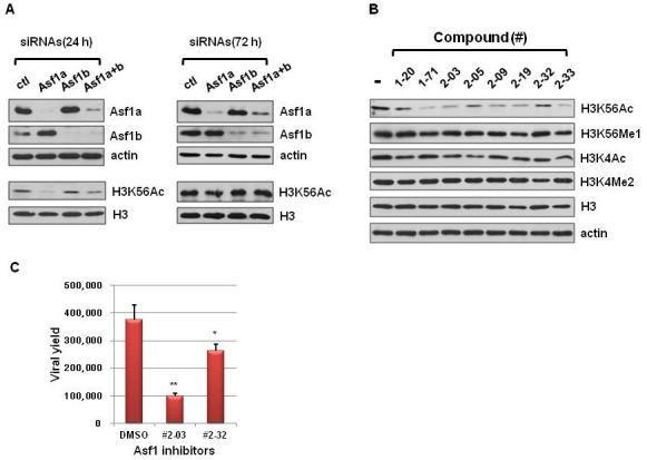 In vivo function of chromatin mediated by Asf1 is affected by Asf1 inhibitors. (A) Role of Asf1 isomers in H3K56 acetylation. <t>HeLa</t> cells were treated with siRNAs (200 pmol) targeting Asf1a and Asf1b, either separately or simultaneously, for 24 hr (left panel) and 72 hr (right panel). Depletion of Asf1 and the effect on H3K56 acetylation was determined by immunoblotting assay with whole cell extracts and specific antibodies recognizing Asf1a, Asf1b, and H3K56Ac. (B) Asf1 inhibitors specifically reduced the level of H3K56 acetylation. HeLa cells were treated with each of the Asf1a inhibitors (40 μM) for 24 hr and whole cell lysate was prepared for immunoblotting, and probed with specific antibodies recognizing different histone modification. <t>H3</t> and actin served as loading controls. (C) HSV-1 yield was decreased by treatment of #2-03 and #2-32. Vero cells treated with DMSO (control) or 80 μM of each compound were infected with HSV-1 and viral yields in the culture supernatants were determined using plaque assay. Error bars represent the standard deviations of three independent experiments. Significance of difference was evaluated (*P < 0.05, **P < 0.005).