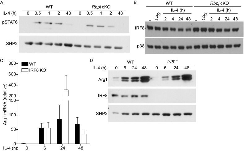 RBP-J regulates Arg1 expression in macrophages independently of STAT6 and IRF8. (A) BMDMs from WT and Rbpj cKO mice were stimulated with 100 ng/mL of IL-4 for the indicated times. Whole cell lysates were analyzed with immunoblotting using antibodies recognizing STAT6 phosphorylated on Tyr641 (pSTAT6). Levels of SHP2 served as loading controls. Results are representative of three independent experiments. (B) BMDMs from WT and Rbpj cKO mice were stimulated with 10 ng/mL of IL-4 and 1 ng/mL of LPS for the indicated times. Whole cell lysates were analyzed with immunoblotting using antibody recognizing IRF8. Levels of p38 served as loading controls. Results are representative of three independent experiments. (C) mRNA expression of Arg1 (relative to GAPDH mRNA) was measured in BMDMs from WT and Irf8 −/− mice. Cumulative results from two independent experiments (errors bars indicate s.d.) are shown. (D) BMDMs from WT and Irf8 −/− mice were stimulated with 10 ng/mL of IL-4 for the indicated times. Whole cell lysates were analyzed with immunoblotting using antibodies against Arg1 and IRF8. Levels of SHP2 served as loading controls. Results are representative of three independent experiments