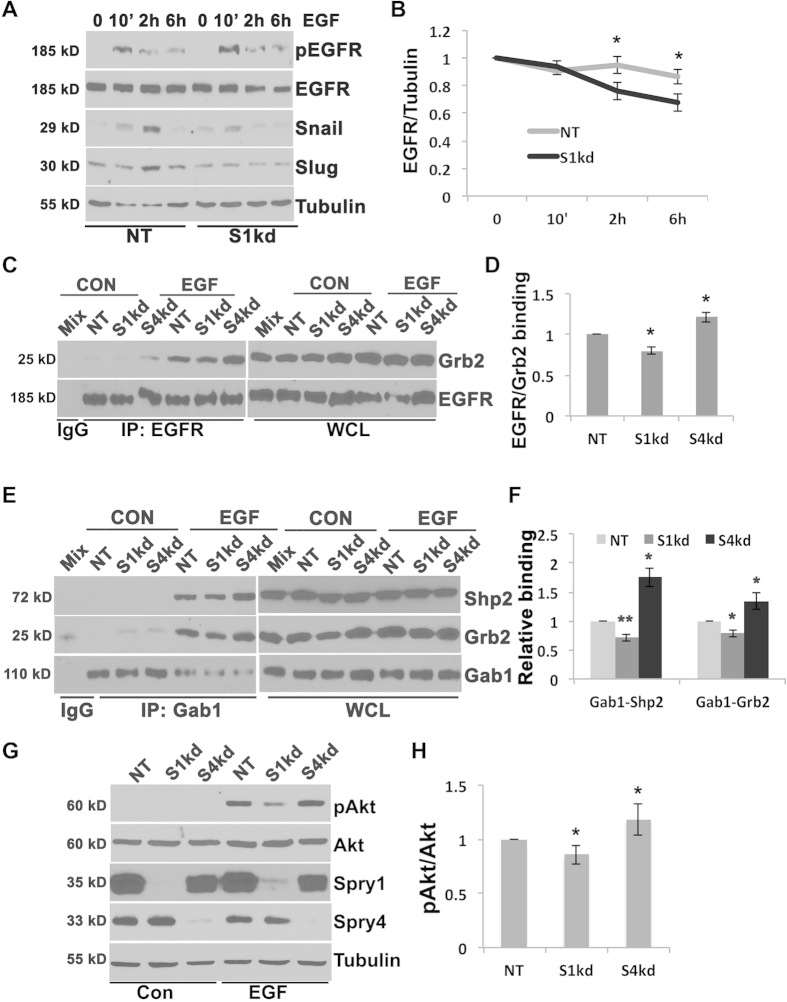 Suppressing Spry1 results in degradation of EGF activated EGFR, and decrease of EGF induced EGFR/Grb2/Gab1/Shp2 cascade complexes formation and downstream signaling, and Snail and Slug induction. ( A ) Time course analysis of Snail, Slug induction, and EGFR protein level upon EGF stimulation. Immunoblotting shows that EGF stimulation induced Snail and Slug expression in NT cells but not in S1kd cells. In NT cells EGF did not change EGFR levels within 6 h, but in S1kd and S4kd cells EGF induced a decrease of EGFR at 2 h and 6 h. The results are representative from at least three independent experiments. The blots were first used for probing pEGFR, Slug or Snail, and then stripped off for reprobing EGFR or Tubulin. ( B ) Quantification to show the trend of EGFR degradation in S1kd cells. ( C ) Immunoprecipitation of EGFR and blotting with Grb2 and EGFR shows decreased EGFR/Grb2 complex formation in S1kd cells compared to NT and S4kd cells. Lysates were incubated with rabbit anti-EGFR overnight, then protein A/G for 1 hr. Beads bound proteins were washed and separated on 8% SDS-PAGE. The same blot was cut between 37 kD and 50 kD markers, and separately probed for EGFR (~185 kD) or Grb2 (~25 kD). ( D ) Quantification of EGF induced EGFR/Grb2 complex formation from three independent experiments. ( E ) Immunoprecipitation of Gab1 and blotting with Grb2, Shp2 and Gab1 shows decreased Gab/Grb2 and Gab1/Shp2 complexes formation in S1kd cells compared to NT and S4kd cells. Lysates were incubated with rabbit anti-Gab1 overnight, then protein A/G for 1 hr. Beads bound proteins were washed and separated on 8% SDS-PAGE. The blot was cut between 37 kD and 50 kD, and between 75 kD and 100 kD, and probed for Grb2 (~25 kD), Shp2 (~72 kD) or Gab1 (~110 kD). ( F ) Quantification of EGFR/Grb2, Gab1/Grb2, Gab1/Shp2 complexes from three independent experiments. ( G ) Representative immunoblotting assay shows decreased EGF mediated pAkt level in S1kd cells compared to NT and S4kd cells. ( 