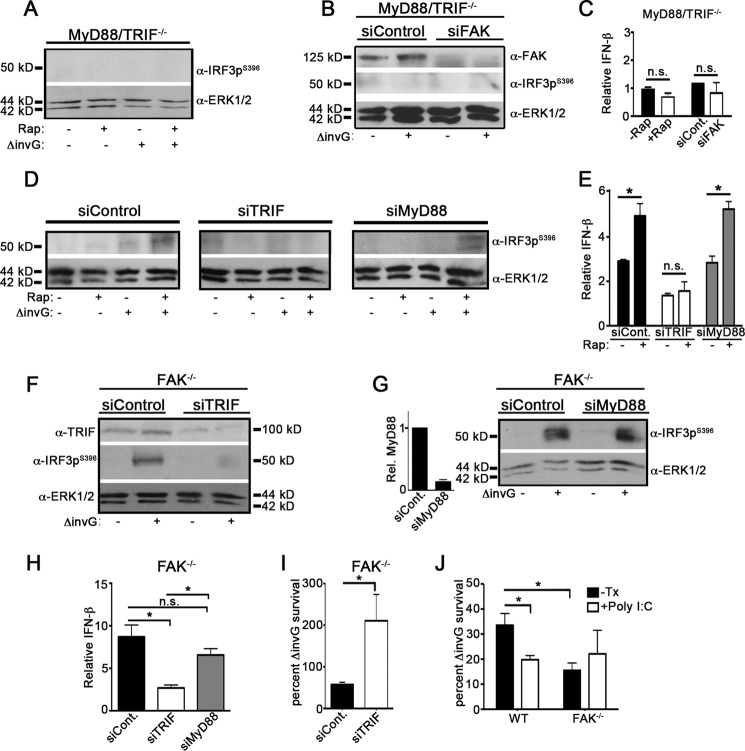 IFN-β production in response to Salmonella infection requires TRIF. (A and B) Immortalized macrophages (iMacs) deficient in both MyD88 and TRIF (MyD88 −/− /TRIF −/− ) were pretreated with rapamycin (1 nM) for 1 h (A) or were depleted of FAK by siRNA before incubation with Δ invG Salmonella (B) (MOI, 100) for 5 h. Lysates were immunoblotted with the indicated antibodies; n = 3. (C) Macrophages were treated as described for panels A and B before assessment of IFN-β mRNA levels. IFN-β amounts in infected cells were calculated relative to those seen with uninfected controls. n.s., not significant; n = 3. (D) WT iMacs were depleted of TRIF or MyD88 before pretreatment with rapamycin (1 nM) for 1 h prior to infection with Δ InvG Salmonella for 5 h. Lysates were immunoblotted with the indicated antibodies; n = 3. (E) Macrophages were treated as described for panel D before assessment of IFN-β mRNA levels. IFN-β amounts in infected cells were calculated relative to those seen with uninfected controls. *, P