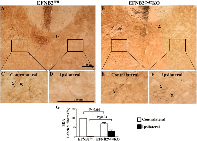 Locomotor phenotype of some ephrin-B2 ( EFNB2 ) Col2 knockout ( KO ) cartilage conditional mice is related to an abnormal corticospinal tract. a - f Brain tracing experiments to visualize the corticospinal path with biotinylated dextran amines ( BDA ) performed in 6-week-old EFNB2 fl/fl (n = 2) and EFNB2 Col2 KO cartilage conditional (n = 3) mice. Representative photomicrographs of the cervical spinal cord of EFNB2 fl/fl ( a , c , d ) and EFNB2 Col2 KO cartilage conditional mice ( b , e , f ) at the level of the fifth cervical vertebra. g Percentage of BDA-labeled fibers in the contralateral and ipsilateral hemispheres. Arrowheads indicate the injection site ( a , b ) and labeled fibers ( c - f ). Scale bars at 100 μm ( a , d ). Data are expressed as the mean ± standard error of the mean and the P values were determined by Mann–Whitney U test