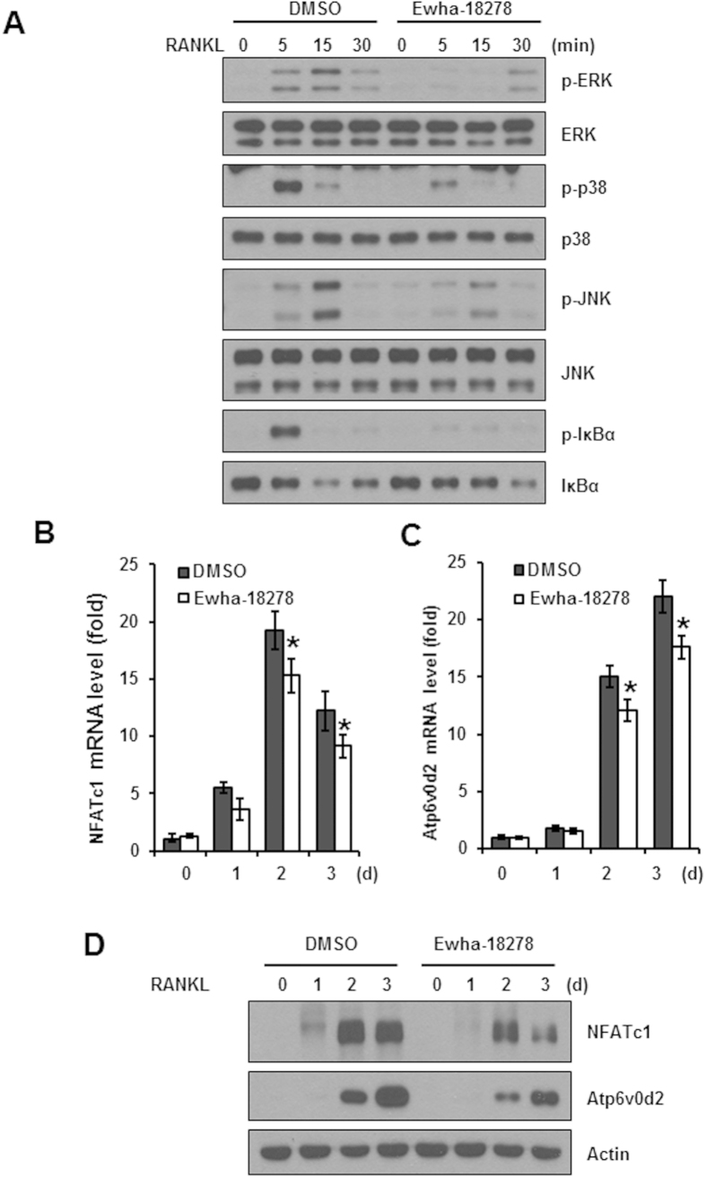 Effect of the Ewha-18278 on the RANKL-induced signaling pathways. ( A ) BMMs were pretreated with Ewha-18278 for 1 hour, the cells were stimulated with RANKL for the indicated times. The cell lysates were subjected to immunoblot analysis. RANKL signaling pathways assessed by phosphorylation of ERK, p38, JNK, and IκBα. Immunoblots were stripped and then reprobed with total ERK, p38, JNK, and IκBα. ( B , C ) BMMs were treated with Ewha-18278 in the presence of M-CSF and RANKL for the indicated periods. Total RNA was extracted from the cells and used in real-time PCR to quantify the mRNA levels of NFATc1 ( B ) and Atp6v0d2 ( C ) genes. The relative expression levels were normalized to the level of actin mRNA as an internal control gene. * P