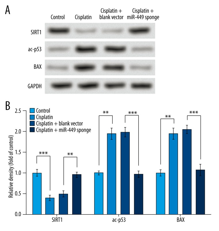 miR-449 regulates SIRT1, p53 acetylation, and BAX in cisplatin-treated NRK-52E cells. Cisplatin induces the down-regulation of SIRT1 and the up-regulation of acetylated p53 and BAX, while inhibiting miR-449 in the treated cells promotes SIRT1 expression and suppresses acetylated p53 and BAX levels. Western blot analysis was performed to detect protein levels, with GAPDH as an internal control ( A ), and a histogram is generated based on triplicate Western blot experiments ( B ). ** P