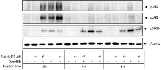 Effect of Afatinib on the phosphorylation of JAK kinases in ARPE-19 cells invaded by T. gondii RH tachyzoites. The challenge of T. gondii induced phosphorylation of the Tyr1022/Tyr1023 site of JAK1 and the Tyr980 site of JAK3 in the ARPE-19 cells only at 2 hr post infection. The time of Afatinib challenge was the same as compared with T. gondii (RH) infection. Afatinib challenge was at 1 hr before infection and at 1 hr post infection. The concentration of Afatinib was 10 μM, and DMSO was used as the vehicle.