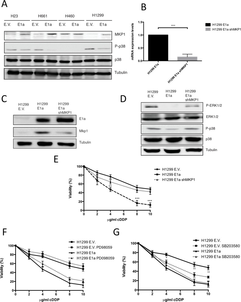 Upregulation of MKP1 mediates E1a associated sensitivity to cDDP in a p38MAPK dependent fashion ( A ) 50 μg of the TCL from NSCLC expressing E1a 13s or empty vector were used to evaluate the MKP1, P-p38MAPK and p38MAPK. Tubulin was used as loading control. ( B ) H1299 stably transfected with pcDNA E1a 13s (H1299 E1a) or empty vector (E.V.) were infected with lentivirus carrying sh-RNA against MKP1 (H1299 E1a shMKP1) and then mRNA MKP1 levels were evaluated by qRT-PCR. ( C ) 50 μg of TCL from cells used in B) were blotted against MKP1 and E1a. Tubulin was used as loading control. ( D ) 50 μg of TCL from cell used in C) were blotted against p38, ERK1/2 and the respective active forms. Tubulin was used as loading control. ( E ) H1299 E.V, H1299 E1a and H1299 E1a and sh-RNA MKP1 were treated with the indicated doses of cDDP during 48 hours and viability was evaluated by crystal violet method. Bars indicate standard deviation (SD). ( F ) H1299 E.V and H1299 E1a were treated with the indicated doses of cDDP during 48 hours in the presence/absences of PD98059 (10 μM). Viability was evaluated by crystal violet method. Bars indicate standard deviation (SD). ( G ) H1299 E.V and H1299 E1a were treated with the indicated doses of cDDP during 48 hours in the presence/absences of SB203580 (10 μM). Viability was evaluated by crystal violet method. Bars indicate standard deviation (SD).