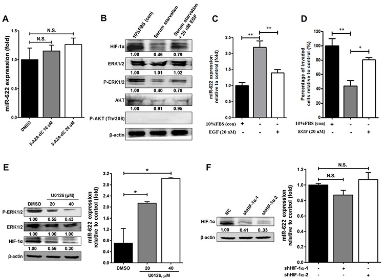 Effects of the EGF-ERK signaling pathway on the regulation of miR-622 expression in relation to invasiveness of lung cancer A. A549-pLKO cells were treated with 5-aza-2′-deoxycytidine (5-AZA-dC; 10 or 20 μM) for 72 h. qRT-PCR was used to determine miR-622 level normalized to untreated cells. N.S., not significant. B. Western blotting for HIF-1α, ERK, phosphorylated ERK1/2 (p-ERK1/2), AKT, and phosphorylated AKT at T308 [p-AKT (Thr308)] in A549-pLKO/miR-622 stably expressing cells under serum starvation or restored by treatment with either 10% FBS or EGF (20 nM) for 6 h in a hypoxic state as described in Materials and methods. C. Quantitative results for the miR-622 level in A549-pLKO/miR-622 cells treated with EGF (20 nM) or 10% FBS was analyzed by qRT-PCR. RNU6B was used as an internal control. D. Boyden chamber assay for the assessment of invasion capacity of A549-pLKO/miR-622 cells treated with EGF (20 nM) or 10% FBS for 12 h. The results presented in panels (C) and (D) represent the mean ± S.D. of three independent experiments. * P