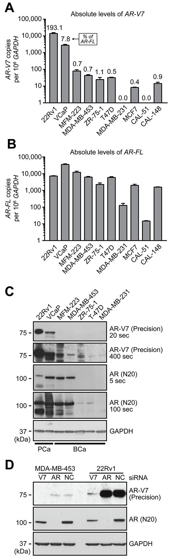 Expression of AR-V7 in breast cancer cell line models A–B. qRT-PCR was used to quantify AR-V7 (A) and AR-FL (B) in a panel of 8 breast cancer cell lines and 2 prostate cancer cell line controls (22Rv1 and VCaP). AR-V7 levels as a percentage of AR-FL transcript are shown above the columns in panel A. Values are the mean (± SEM) of triplicate samples. C. Protein lysates were collected from the indicated cell lines used above and subjected to Western blot analysis using AR-V7 (Precision Biosciences), AR (N20) and GAPDH (loading control) antibodies. Short and long exposures are shown. Note that AR-FL from 22Rv1 cells migrates more slowly because it contains two copies of the second zinc finger domain as a result of a genomic duplication. D. MDA-MB-453 and 22Rv1 cells were transfected with a non-specific control siRNA (NC) or siRNAs specific for AR-FL or AR-V7. After 72 h, protein lysates were analyzed by Western blotting as in (C).