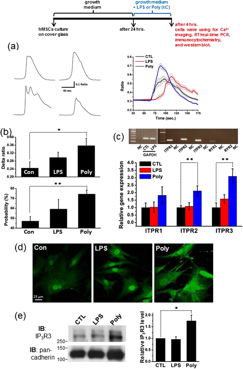 Treatment with LPS or Poly(I:C) increases IP 3 R expression and IP 3 R-mediated Ca 2+ mobilization without influencing Dihydropyridine-Sensitive Ca 2+ entry in hMSCs. ( a ) Representative [Ca 2+ ] i traces showing carbachol-evoked [Ca 2+ ] i transients registered in four individual cells bathed in extracellular solution without Ca 2+ (left panel). Averaged [Ca 2+ ] i traces depicting the mean [Ca 2+ ] i responses to carbachol challenge in control cells (CTL; n = 26 cells) and cells treated with LPS (n = 43 cells) or poly(I:C) (n = 61 cells) in the absence of extracellular Ca 2+ . ( b ) Upper graph illustrating the mean net increases in [Ca 2+ ] i reflected by the averaged delta F340/F380 ratios obtained from control (CTL; n = 9), LPS- (n = 9) and poly(I:C)-treated groups (n = 9). Lower graph showing the averaged percentages of carbachol-responsive cells subjected to control treatment (n = 19), exposure to LPS (n = 19) and incubation with poly(I:C) (n = 19). Herein, n denotes the number of experiments. ( c ) Representative RT-PCR blots showing the mRNA expression of three IP 3 R subtypes (ITPR1, ITPR2 and ITPR3) and two RyR subtypes (RYR1 and RYR2) in control cells. GAPDH serves as an internal control. NC indicates negative control, i.e., distilled water. Real time RT-PCR quantification illustrating the different mRNA expression profiles of three IP 3 R subtypes (ITPR1, ITPR2 and ITPR3) in the control, LPS and poly(I:C) groups. Experiments were performed three times. ( d ) Confocal images showing the different intensities of IP 3 R3 immunofluorescence in control cells (left panel) and cells exposed to LPS (middle panel) or poly(I:C) (right panel). ( e ) Representative western blot of IP 3 R3 in control cells and cells exposed to LPS or poly(I:C) (left panel). Summarized graph showing the normalized level of IP 3 R in indicated conditions (right panel). Pan-Cadherin was used as a loading control. Experiments were performed six times. The significance level was set at 
