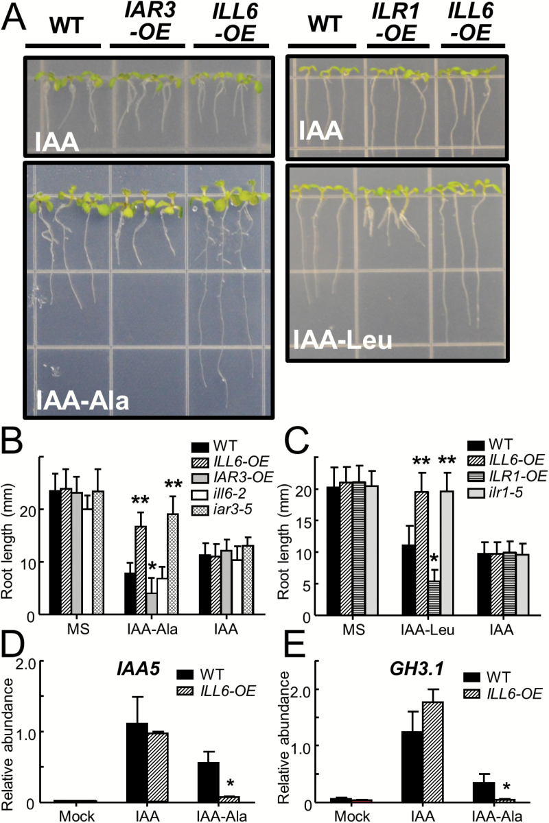 Impacts of genetic manipulation of IAHs on plant sensitivity to exogenous IAA conjugates. (A–C) Photographs and root length measurements of 9-day-old WT, ILL6-OE (line 5), IAR3-OE (line 42), ILR1-OE , ill6-2 , iar3-5 , and ilr1-5 plants grown on MS medium supplemented or not with 5 μM IAA, 50 μM IAA-Ala, or 30 μM IAA-Leu. Data show the mean and SD ( n > 18). (D and E) <t>qRT–PCR</t> analysis of IAA5 and GH3.1 expression in leaves of 4-week-old WT and ILL6-OE plants sprayed (2h) with the mock, 5 μM IAA, or 50 μM IAA-Ala solutions. Relative abundance compared with ACTIN8 is displayed. Error bars indicate the SD of three biological replicates. Asterisks denote a significant difference compared with the WT at P