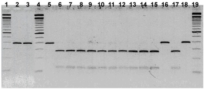 """PCR-RFLP of a gltA gene fragment using the restriction endonuclease <t>Aci</t> I. Lanes 1, 4 and 19 show 100 BP Ladder; Lane 2, Mt Lion L27-96; Lane 3, Mt Lion L42-94; Lane 5, Mt Lion L-39-97; Lane 6, Mt Lion FM98061; Lane 7, Bobcat L08-96; Lane 8, Bobcat L17-96; Lane 9, Bobcat DS08; Lane 10, Bobcat L10-97; Lane 11, Bobcat L11-97; Lane 12, Bobcat SC443; lane 13, Bobcat DS507; Lane 14, B . henselae Type I; Lane 15, B . henselae Type II; Lane 16, B . clarridgeiae ; Lane 17, B . koehlerae ; Lane18, B . bovis (""""weissii"""" isolate)."""