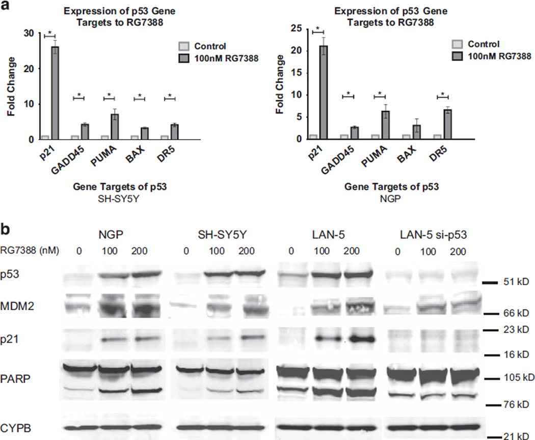 RG7388 upregulates mRNA and protein expression of the p53 pathway. ( a ) MDM2 inhibition with RG7388 increases mRNA expression of p53 transcription targets related to apoptosis in SH-SY5Y (left) and NGP (right) cells. Significant increases with RG7388 treatment is seen for <t>p21,</t> GADD45 (Growth Arrest and DNA Damage genes), PUMA (p53 upregulated modulator of apoptosis), BAX (Bcl-2-associated X protein), and DR5 (death receptor 5) expression in both cell lines by quantitative PCR (* P