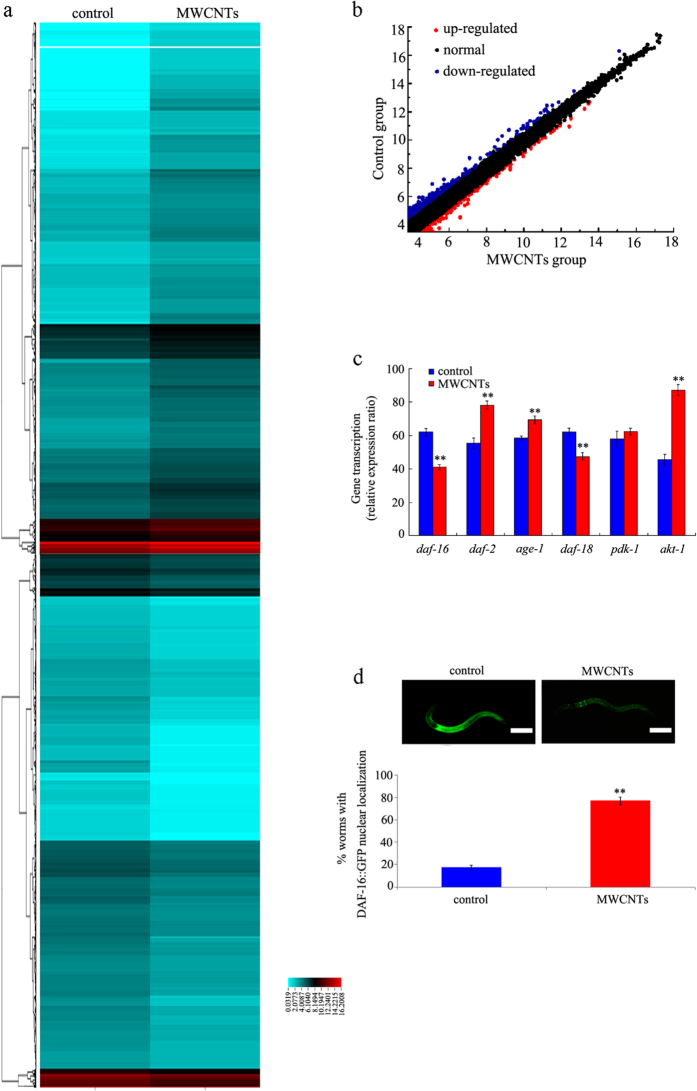 Dysregulated mRNAs induced by MWCNTs exposure. ( a ) Heatmap showing the expression of mRNAs obtained from control and MWCNTs-exposed nematodes. Relatively low expression levels are represented as blue, and relatively high expression levels are represented in red. ( b ) Scatter diagram of relationship between mRNA coverage of the control group and the MWCNTs exposure group. ( c ) qRT-PCR analysis of the expression expressions of some genes encoding insulin signaling pathway in nematodes exposed to MWCNTs. ( d ) MWCNTs exposure influenced the nuclear translocation of DAF-16::GFP in nematodes. Scale bar, 150 μm. MWCNTs (1 mg/L) exposure was performed from L1-larvae to young adult. Bars represent means ± S.E.M. ** P