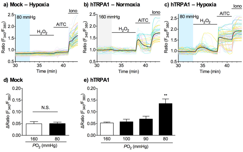 Effects of hypoxia on H 2 O 2 -evoked TRPA1 activation in hTRPA1-expressing cells. HEK293 cells transfected with vector ( a , d ; mock) or hTRPA1 cDNA ( b , c , e ) were pretreated with normoxia (160 mmHg) or hypoxia (100, 90, or 80 mmHg) for 30 min, and then exposed to H 2 O 2 (10 μM) for 5 min, as shown in Supplementary Fig. S5 . ( a–c ) Representative images of [Ca 2+ ] i changes are shown as F 340 /F 380 ratio. F 340 /F 380 ratio in each cell is shown as pale-coloured lines, and the average of F 340 /F 380 ratio is shown as a black solid line. ( d,e ) Statistical analyses of H 2 O 2 -evoked [Ca 2+ ] i increases were calculated as the average of the maximal ΔRatio during the 5 min H 2 O 2 application period (33–38 min) obtained from 5–6 independent experiments, as described in Materials and Methods. AITC, allyl isothiocyanate, 100 μM; Iono, ionomycin, 3 μM. ** P