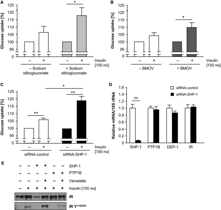 PTP inhibition resulted in enhanced glucose uptake accompanied by increased insulin receptor phosphorylation. (A‐B) Differentiated C2C12 cells were treated with sodium stibogluconate (A), BMOV (B) and transfected with SHP ‐1 si RNA (C) followed by measurement of insulin‐induced glucose uptake. Expression of mRNA was analysed to confirm efficient SHP ‐1 downregulation and to rule out compensatory regulation of the insulin receptor and other PTP s (D). (* P