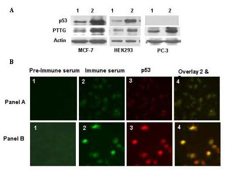 Expression of PTTG and p53 proteins in MCF7, HEK293 and PC3 cells transfected with either pcDNA 3.1 (Lane 1) or pcDNA3.1- PTTG cDNA (lane 2). A : Expression of PTTG and p53 proteins was analyzed by western blot analysis using a PTTG - or p53 -specific antibody as described in Methods. A β-Actin antibody was used as a control to determine the variation in protein concentration and loading. B : Double immunocytochemical analysis of HEK293 cells for the co-expression of PTTG and p53 proteins. HEK293 cells were transiently transfected with PTTG cDNA. After 48 hours of transfection, the cells were subjected to immunofluorescence analysis using PTTG -specific antiserum and a p53 monoclonal antibody. Panel A: Cells transfected with pcDNA3.1 vector. Panel B: Cells transfected with pcDNA3.1- PTTG cDNA. 1, pre-immune serum; 2, PTTG antiserum; 3, p53-specific monoclonal antibody, and 4, overlay of 2 and 3 showing co-expression of PTTG and p53 proteins.