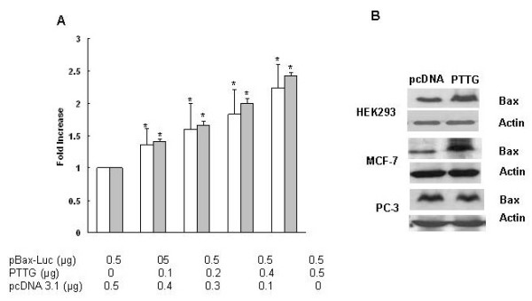 Overexpression of PTTG activates the expression of bax by upregulating p53 expression. A: MCF7 cells (open bars) and HEK293 cells (solid bars) were co-transfected with the bax promoter and increasing amounts of the pCDNA3.1- PTTG expression vector. Transfections were performed in duplicate and the results are expressed as the mean ± S.E.M of four independent experiments (*, p