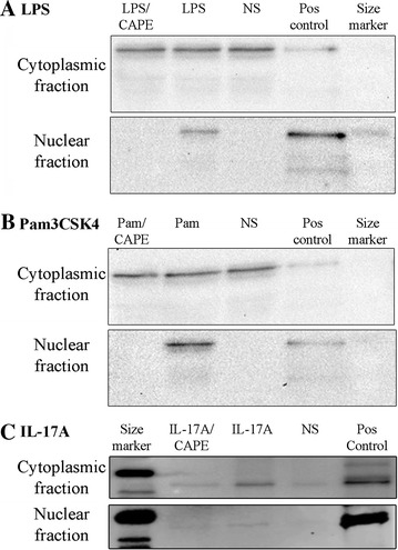 Western analysis of NF-kB p65 in nuclear and cytoplasmic extracts of bTEC stimulated with LPS, Pam3CSK4 or IL-17A. NF-kB p65 was localized to the cytoplasm of non-stimulated cells (NS), but showed translocation to the nucleus following treatment of the cells with either LPS (panel A ), Pam3CSK4 (Pam, panel B ) or IL-17A (panel C ). However, pre-treating the cells with the NF-κB inhibitor CAPE (10 μM) prior to exposure to agonists fully abrogated nuclear translocation of NF-kB p65 in the studies involving LPS and Pam3CSK4 (panels A and B ), and partially in the studies involving IL-17A (panel C ). Pos control: positive control, NF-kB p65. The findings were similar when the experiments were repeated using cells from different animals.