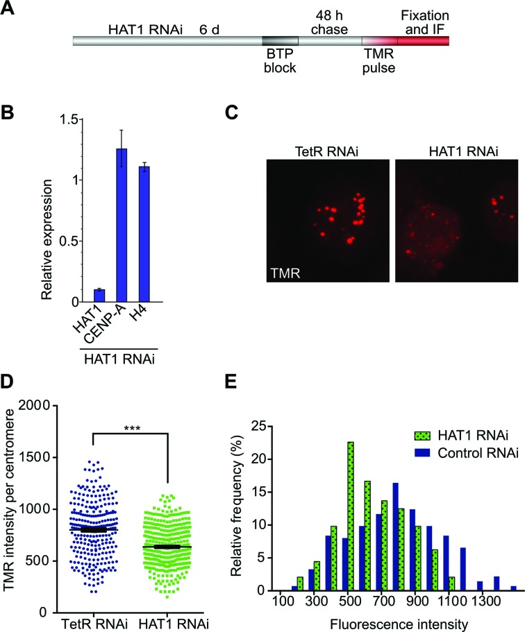 Hat1 knock-down causes decreased CENP-A loading. ( A ) Experimental design of pulse labeling-mediated analysis of CENP-A centromeric loading. ( B ) RNAi efficiency was determined by RT-qPCR for Hat1. Transcript levels for Hat1, CENP-A and histone H4 in Hat1 RNAi cells were normalized against GAPDH and are expressed relative to those of the respective genes in TetR-treated S2 cells (control). ( C ) Example image of reduced CENP-A intensities in Hat1 RNAi cells. Cells were processed according to the scheme in (A) and newly loaded SNAP-CENP-A was visualized by staining with TMR-Star. Images were acquired and processed with identical settings. ( D ) Quantification of SNAP-CENP-A intensities in Hat1 knock-down and TetR RNAi control cells using Imaris v5.1 software. Statistical significance was determined by unpaired t -test and Mann–Whitney test (*** P