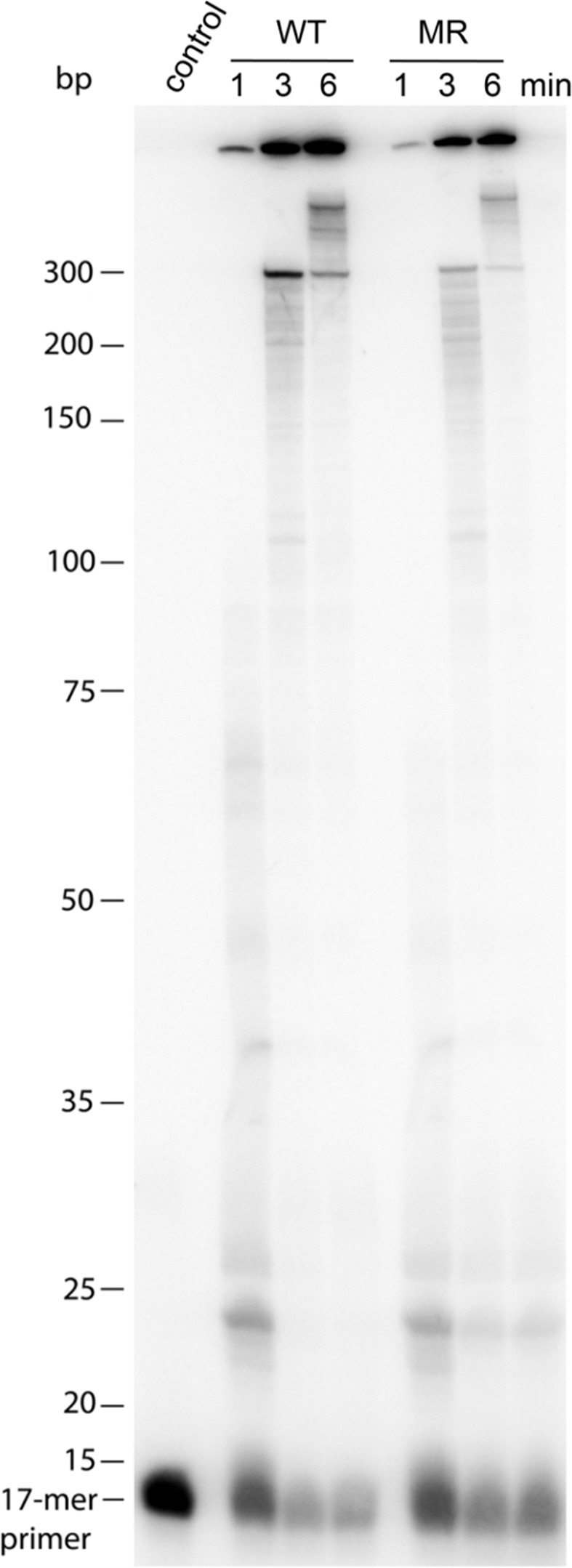 <t>DNA-dependent</t> DNA polymerase activity of subtype CRF02_AG WT and MR-RTs. Reactions were carried out at 37°C for the times indicated on top of the gel with 30 nM [ 32 P]-P 17 <t>/M13mp18,</t> 200 μM of each dNTP and 83 nM WT or MR-RT, or without RT (control) in a reaction volume of 10 μl. Extension products were analyzed by denaturing gel electrophoresis on a 10% sequencing gel and visualized by a phosphoimaging device. DNA size markers are shown on the left.