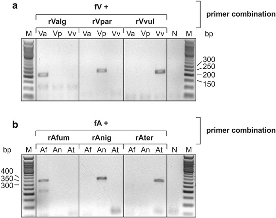 Genome-specific amplification of loop-encoding DNA sequences. a . A Vibrio -specific forward primer (fV) was used in combination with species-specific reverse primers rValg, rVpar and rVvul to selectively amplify the loop-encoding regions. 1.0 ng genomic DNA of V. alginolyticus (Va), V. parahaemolyticus (Vp) and V. vulnificus (Vv) was used as template. The respective PCR products have a length of 204, 245 and 231 bp, respectively. b . The corresponding gene region from 3.0 ng genomic DNA from A. fumigatus , A. niger and A. terreus was amplified with appropriate primers (fA with rAfum, rAnig or rAter), leading to PCR products of 333 ( A. fumigatus , A. niger ) and 301 bp ( A. terreus ). Reaction products were separated on a 2 % agarose gel and stained with ethidium bromide. N, PCR negative control. M, 50 bp DNA ladder (NEB)