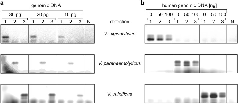 Multiplex PCR with individual fluorescence-labeled primers for different Vibrio strains. a . Species-specific amplification of the flexible loop-encoding DNA sequence. Indicated amounts of individual genomic DNA (1: V. alginolyticus , 2: V. parahaemolyticus , 3: V. vulnificus ) were added to the primer mix. PCR products were visualized in the agarose gel by the different fluorescence of the species-specific primers. Down to 10 pg of each DNA sample were readily detected, without any cross reactivity with the other genomes. N, negative control. b . Human DNA does not interfere with the specific detection of Vibrio DNA. 0.1 ng of genomic DNA (1: V. alginolyticus , 2: V. parahaemolyticus , 3: V. vulnificus ) were mixed with a 500 to 1,000-fold excess (50 and 100 ng) of human genomic DNA in a multiplex PCR and visualized as above. Compared to the positive control (0, no human DNA added), no additional bands appeared, indicating an exclusive and highly specific amplification of Vibrio DNA only. N, negative control with 50 ng of human genomic DNA