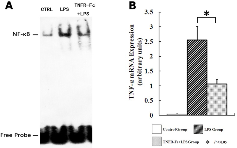 TNFR-Fc pretreatment depresses TNF-α expression via NF-κB feedback. (A)EMSA for NF-κB binding in lung control nuclear extracts, LPS, and TNFR-Fc + LPS mice (N = 3 in each group). LPS administration caused a marked increase in NF-κB binding to biotin-labeled oligonucleotide probes derived from the TNF-α promoter, and TNFR-Fc pretreatment partially inhibited NF-κB binding. (B)qRT-PCR was used to detect TNF-α mRNA expression (N = 3 in each group). LPS challenge raised TNF-α mRNA expression in ALI mice, and TNFR-Fc pretreatment attenuated TNF-α mRNA transcription. Error bars represent SEM. * P