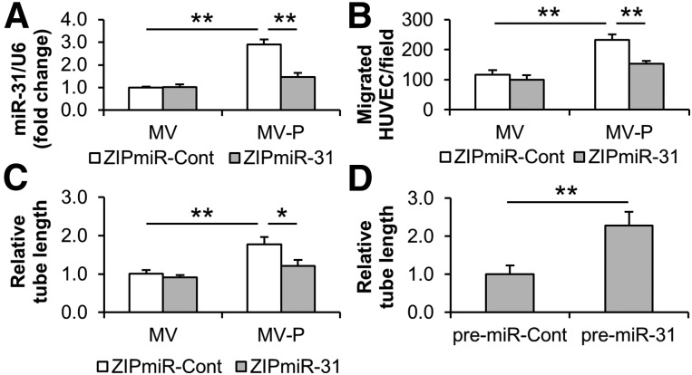 miR-31 contributes to the proangiogenesis induced by MV-P in vitro. (A–C): Adipose-derived stem cells (ASCs) were transduced with lentiviral ZipmiR-31 to silence miR-31. ZipmiR-Cont was used as a control. MVs and MV-P were obtained from the transduced ASCs and were used to treat HUVECs. The miR-31 content in HUVECs (A) , and the cell migration (B) and tube formation (C) of HUVECs were determined. (D): HUVECs were transfected with commercial pre-miR-31. A pre-miR-Cont was used as a control. The tube formation of HUVECs was measured 48 hours after transfection. (A–D): n = 4–5. ∗, p