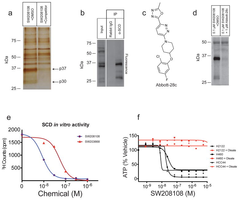 Stearoyl CoA desaturase-1 (SCD) is the target of the oxalamides and benzothiazoles. a. Silver stain of purified p37 and p30 proteins. H2122 cells were treated with SW208108 with or without 3 μM (−)-SW203668, an active competitor. Full gel image is shown in Supplementary Figure 2a . b. Immunoprecipitation of SCD from 0.1 μM SW208108-treated H2122 cell lysate following conjugation of a fluorescent azide. Full gel is shown in Supplementary Figure 2b . c. Structure of known SCD inhibitor, Abbott-28c. d. Competition of SW208108 with Abbott-28c. Full gel image is shown in Supplementary Figure 2c . e. In vitro inhibition of SCD activity by oxalamide and benzothiazole scaffolds in microsomal preparation of H2122 cells. Each data point represents one replicate. Counts shown are after subtraction of counts from a control sample lacking NADPH. f. Rescue of oxalamide toxicity by 100 μM of sodium oleate. Each point represents the average of two biological replicates. Best fit curves of H460 + oleate and HCC44 + oleate are overlapping.