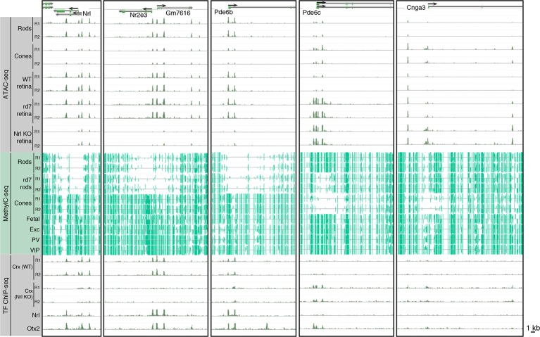 Epigenomic patterns of WT rods, rd7 rods, and cones near photoreceptor genes. Browser images showing ATAC-seq signals (top), CG DNA methylation (middle), and TF ChIP-seq signals (bottom) at examples of rod-specific ( Nrl, Nr2e3, Pde6b ) and cone-specific ( Pde6c, Cnga3 ) genes. DOI: http://dx.doi.org/10.7554/eLife.11613.019