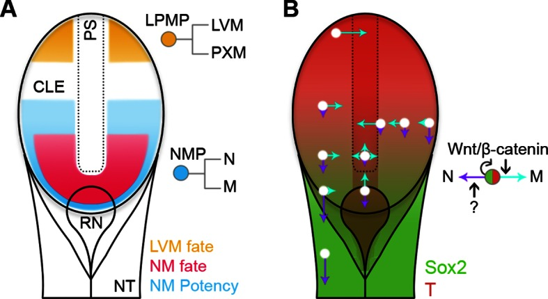 Position-dependent plasticity of primitive streak progenitors. ( A ) NMPs and LPMPs coexist in the caudal progenitor zone. The NSB and L1 regions show NM fate. NM potency is broader, encompassing L2–3 regions and coincides with a Sox2 + T + phenotype. LPMPs reside in the caudal-most embryo part; their potency to make PXM is somehow supressed. ( B ) Relative N vs M fate choices and trajectories for both progenitor populations are represented by directional purple and cyan arrows respectively, with length indicating proportions of cells entering each lineage. Background, relative expression of Sox2 (green) and T (red). Only NMPs require Wnt/β-catenin for mesoderm differentiation and maintenance. DOI: http://dx.doi.org/10.7554/eLife.10042.026