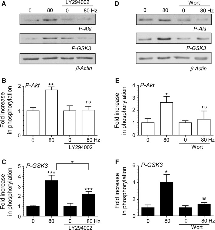 PI3K activity is essential for activity-dependent Akt/GSK3 phosphorylation. CGNs were removed from culture medium and repolarised in incubation medium for 10 min. Cultures were then incubated with or without incubation medium supplemented with either 10 μM LY294002 or 200 nM wortmannin for 10 min. After this point CGNs were left to rest or challenged with either 800 action potentials (80 Hz). a , d Representative blots are displayed showing either Akt Ser473 phosphorylation ( P - Akt ), GSK3α/β Ser21/9 phosphorylation ( P - GSK3 ) or β-Actin levels ( β - Actin ) after action potential stimulation in the presence of either LY294002 ( a ) or wortmannin ( d ). b , e The fold increase in phosphorylation of Akt Ser473 ( open bars ) in the presence of either LY294002 ( b ) or wortmannin ( e ). c , f The fold increase in phosphorylation of GSK3α/β Ser21/9 ( closed bars ) in the presence of either LY294002 ( c ) or wortmannin ( f ). In all cases phosphorylation levels were corrected for protein levels using β-Actin and normalisation to the basal controls. All error bars represent ±SEM; LY294002—n = 6 for P-Akt, n = 16 for P-GSK3; wortmannin—n = 4 for P-Akt, n = 6 for P-GSK3 (students t test, ns non-significant, * p