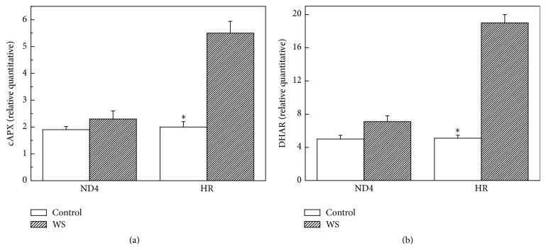 Effects of water stress (WS) on expression pattern of cytosol APX (cAPX) (a) and dehydroascorbate reductase (DHAR) (b) in Cerasus humilis leaves of Huai'rou (HR) and Nongda4 (ND4) by qRT-PCR. Data are the means of at least five replicates with standard errors shown by vertical bars. Asterisk ( ∗ ) indicates significant difference with control groups (well-watered) at the 0.05 level of probability by Duncan's Multiple-Range Test.